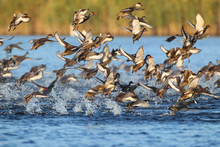 Large Flock Of  Red-crested Po...