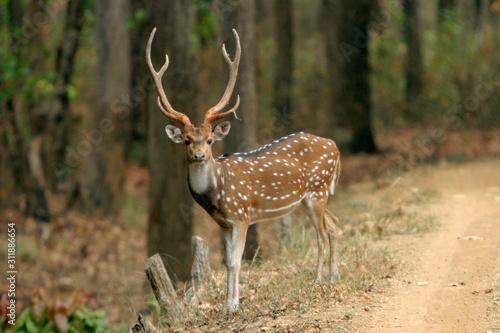 Spotted deer or chital, Axis axis, Kanha National Park, Madhya Pradesh, India Canvas Print