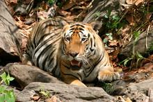 Male Tiger, Panthera Tigris, K...