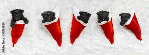 Obraz New Year's gift. Scottish terrier puppies in Santa's cap. Cute black doggies or pets playing with Christmas decoration. Look cute. Studio photoshot. Concept of holidays, festive time, winter mood. - fototapety do salonu