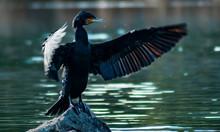 Cormorants In The Sun. Valmayor Reservoir, El Escorial, Madrid Spain.