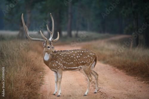 Male Spotted Deer, Posing itself Axis axis, at Kanha National Park, Madhya Pradesh, India Canvas Print