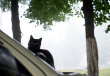 Black Cat On A Car Hood On An ...