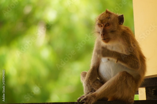 Vászonkép Crab-eating monkeys (Macaca fascicularis), also known as long-tailed macaques, are primates originating from Southeast Asia