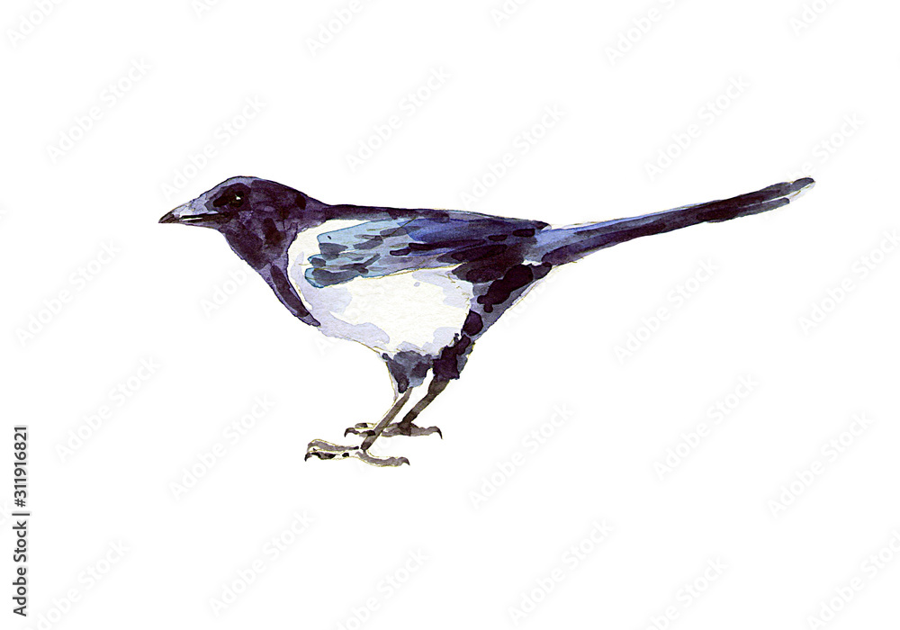 Image of magpie in watercolor. Print for typography.