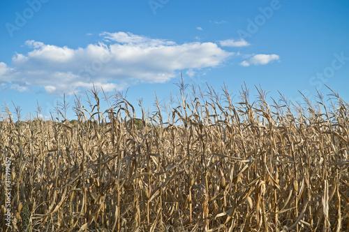 Fotografia, Obraz Dry Fields of Corn