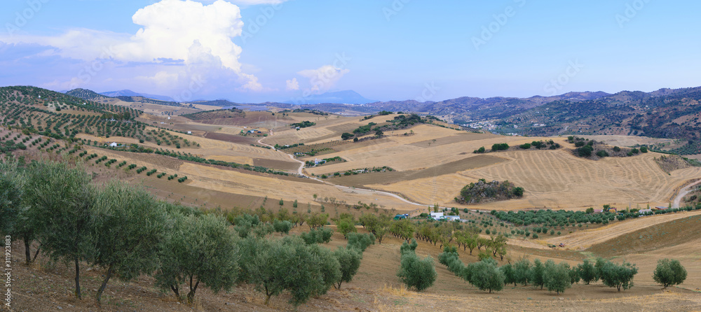 Fototapeta Nice panorama of the dry andalusian countryside during summer with golden fields, green olive tree groves and mountains in the background