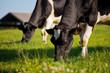 Vache laitière dans une prairie de France.