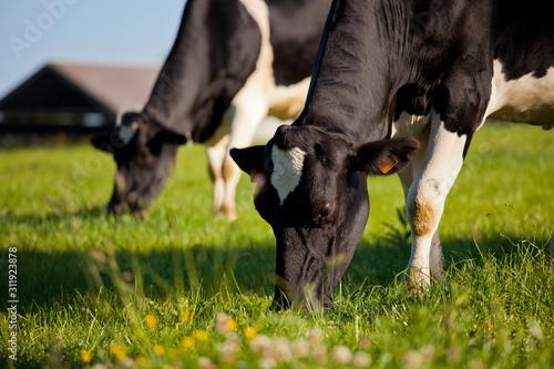 Foto Vache laitière dans une prairie de France.