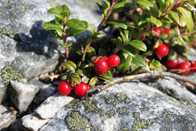 Red Color Cowberry Berry On St...