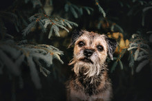 Border Terrier Dog Portrait By...