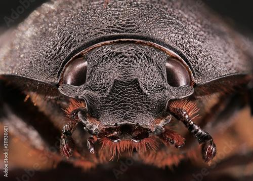 Fotografiet Kopf frontal von einem tropischen Nashornkäfer, Xylotrupes gideon