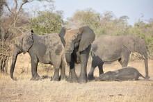 Elephants Taking A Mud Bath