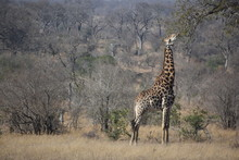 Giraffe Reaching Out For Food