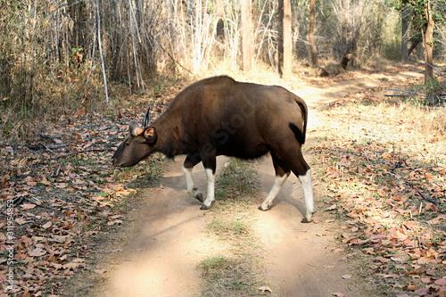 Gaur (Bos gaurus), one of several species of wild cattle, family Bovidae (order Canvas Print
