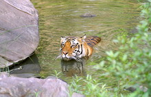Male Tiger-Panthera Tigris, At...