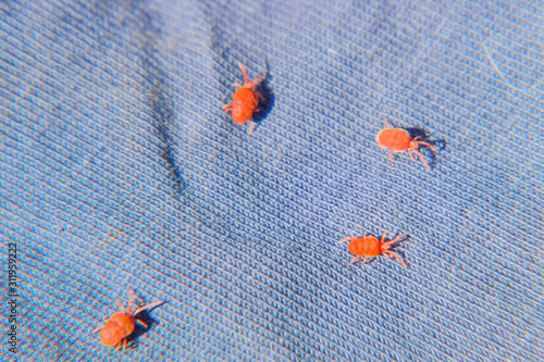 Close up macro Red velvet mite or Trombidiidae, Red velvet mite Wallpaper Mural