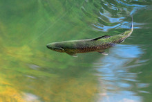 The Rainbow Trout (Oncorhynchus Mykiss) In The Lake.The Rainbow Trout (Oncorhynchus Mykiss) In The Lake.Trout In The Green Water Of A Mountain Lake. Big Brown Trout Swimming In Blue Green Water
