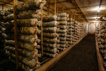 Mushroom Farm. Bags With Oil Cake Substrate For Growing Mushrooms