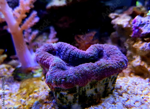 Obraz na plátně  Tricolor Aussie Lobophyllia LPS coral