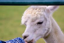 Closeup Feeding White Alpaca T...