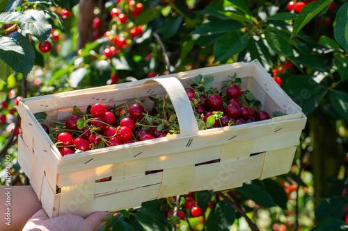 Photo New harvest of Prunus cerasus sour cherry, tart cherry, or dwarf cherry in sunny