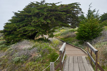 Windswept Monterey Cypress Forms A Tunnel Over The Walking Path Along The Beach In Cambria California