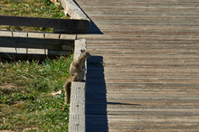 Brown Squirrel On Wooden Board...