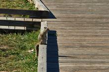 Brown Squirrel On Wooden Boardwalk At The Beach
