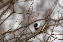 Black-capped Chickadee Perched In Branches