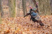 Wild Turkeys In Forest