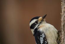 Downy Woodpecker Close Up