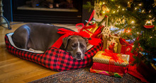 Grey Pit Bull Wrapped Up With ...