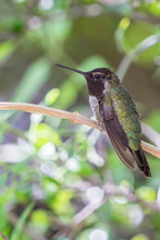 White Eared Hummingbird Perched On A Branch