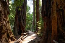 Path Winding Through Muir Woods National Park