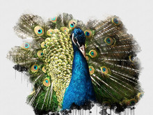 Exotic Blue Peacock Bird. Beau...