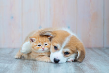 Pembroke Welsh Corgi Puppy And Kitten Together