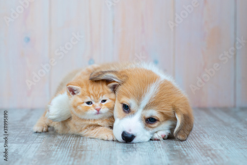 Tablou Canvas Pembroke Welsh Corgi puppy and kitten together