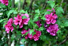 Hibiscus Syriacus Freedom Or R...