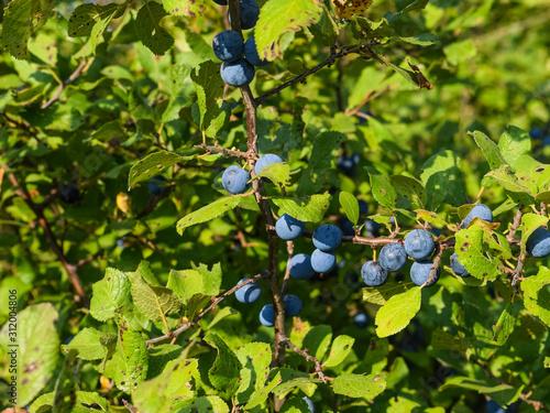 Berries of wild plum - a sloe Tablou Canvas