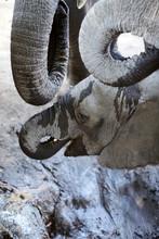 Baby Elephant In Mana Pools Na...