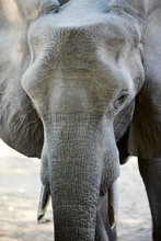 Elephant In Mana Pools Nationa...