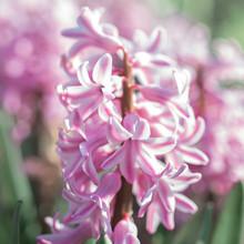 Pink Hyacinth Orientalis Flowe...