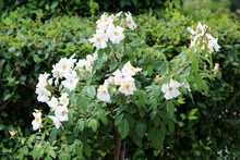 Tall Disc Shaped Dog Rose Or Rosa Canina Deciduous Shrub Plant With Closed Flower Buds And Open Blooming White Flowers With Yellow Center Surrounded With Pinnate Green Leaves