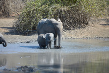 Elephants In Mana Pools Nation...