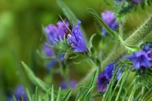 Hyssop Officinalis Wildflowers...