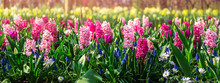 Flower Gardens In The Netherlands During Spring. Close Up Of Blooming Flowerbeds Of Tulips, Hyacinths, Narcissus. Banner Size