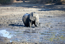 Baby Elephant Blocker In The Mud, Helped By The Mother. Mana Pools National Park, Zimbabwe