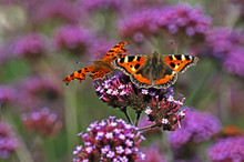 The Comma Butterfly And A Tortoiseshell Butterfly In A Cottage Garden