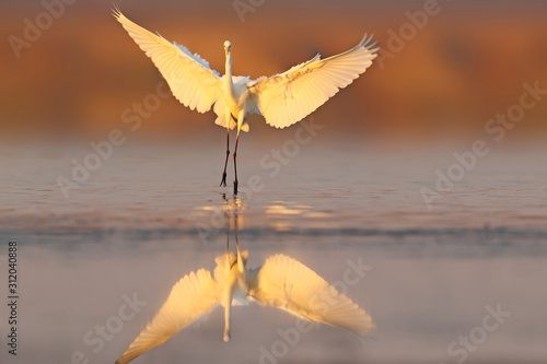 Fotomural Great white heron landing on the water early morning